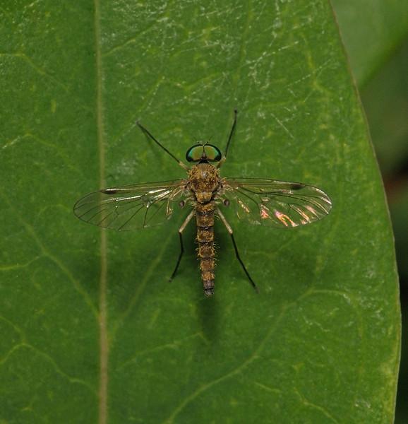 Chrysopilus asiliformis, June