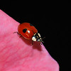 Ladybird, May