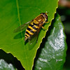 Hoverfly, June