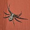 Crab Spider, Philodromus, June