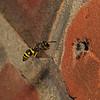 Mason Wasp - Ancistrocerus sp, 30th June 2009