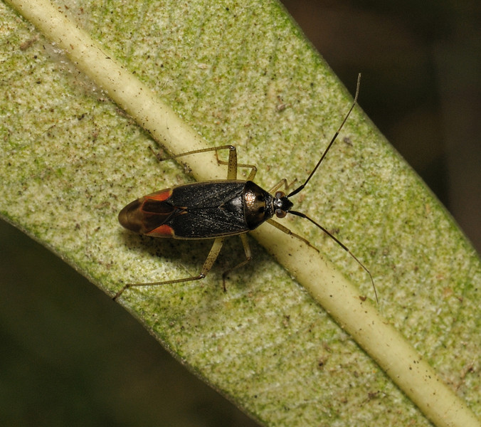 Closterotomus trivialis male, June