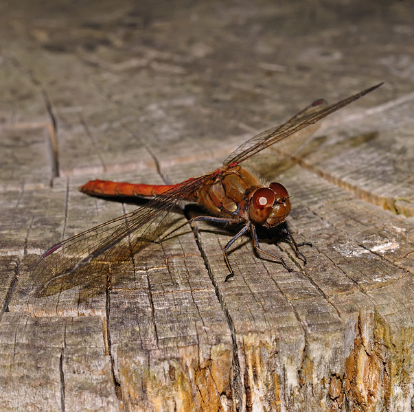 Male Common darter - Sympetrum striolatum, August