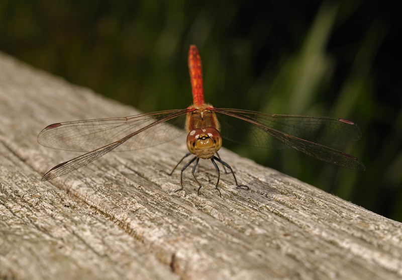 Female Common darter - Sympetrum striolatum, August