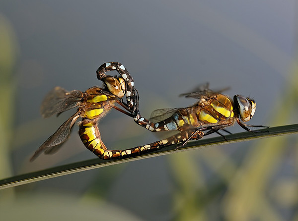 Migrant Hawker - Aeshna mixta pair, September