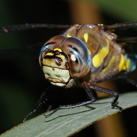 Male Migrant Hawker - Aeshna mixta, September