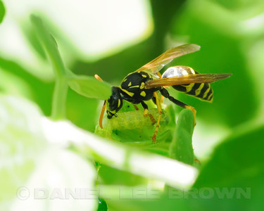 Wasp eating Caterpillar on tomato plants in our backyard!