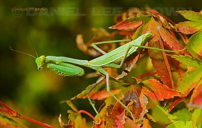 Californa Praying Mantis