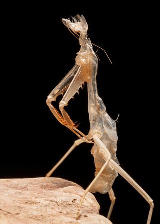 Mantis Exuvia.