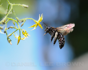 Large Carpenter Bee, pollinating tomato plant.