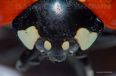 Ladybugs head, 6X macro, numerous image files stacked and combined with software to give greater depth of field.