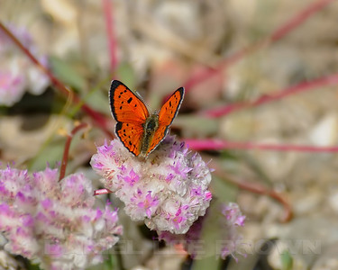 This is a Lustrous Copper butterfly, Lycaena cupre, feeding on Pussy Paws, photographed in Nevada County, CA, 6-22-12.