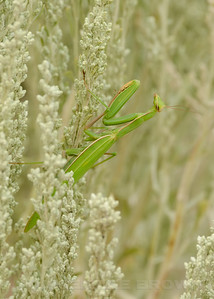 Endemic California Praying Mantis, Stagmomantis californica, Alpine County, Ca, 9-1-13. Cropped image.