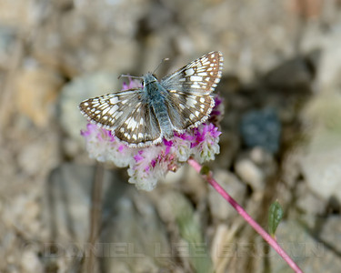 Common Checkered Skipper, Nevada County, CA. Cropped image.