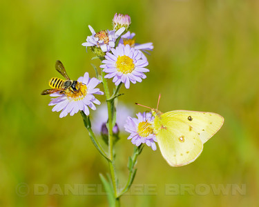 The bee is Megachilid sp. The butterfly is an Orange Sulphur and the flower is an Alpine Aster (?).