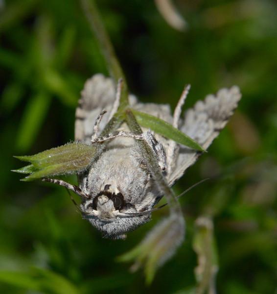 Sycamore moth