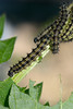 Small Tortoiseshell Caterpillars