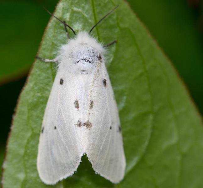 Muslin Moth
