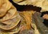 Sycamore Moth cocoon