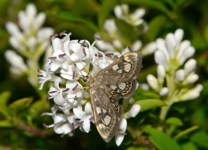 Anania Coronata Moth