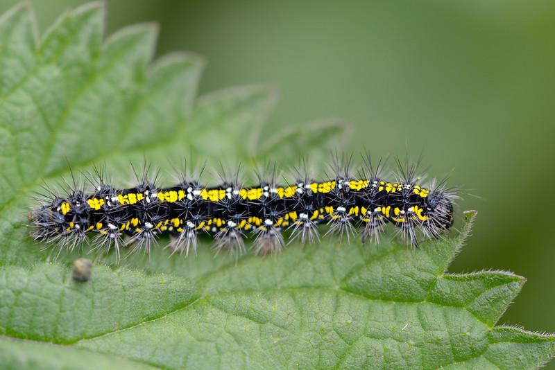 tortoiseshell butterfly caterpillar