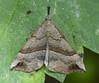 Snout moth