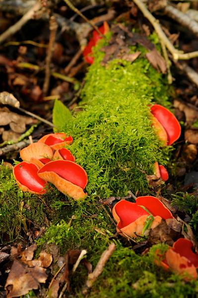 Scarlet elf cup fungus
