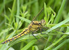Common Skimmer