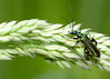 False oil Beetle