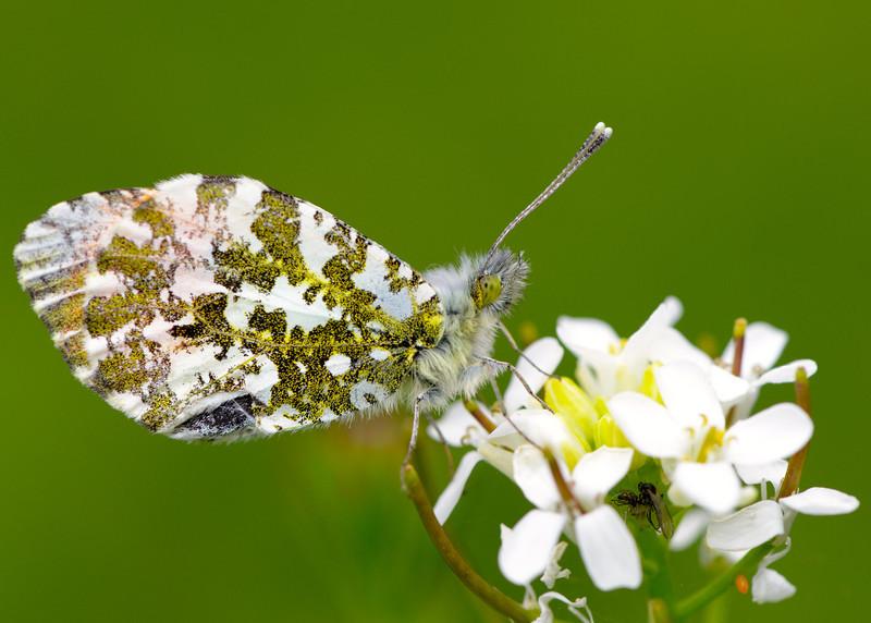 Orange-tip Butterfly