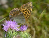 Silver-washed Fritilary
