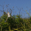 Argiope sp, March