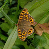 Speckled Wood – Pararge aegeria, March