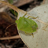 Southern Green Shieldbug - Nezara viridula, March