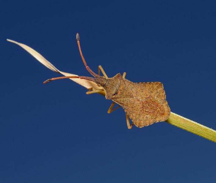 Syromastus rhombeus, Madeira, March