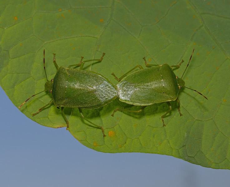 Southern Green Shieldbug pair - Nezara viridula, March