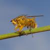 Scatophaga stercoraria, March
