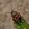 Ornate Shieldbug - Eurydema ornata, March