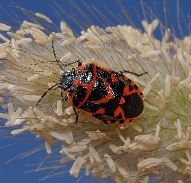 Ornate Shieldbug - Eurydema ornata, March