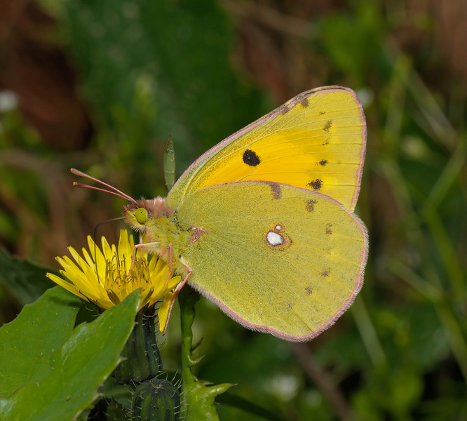 Clouded Yellow - Colias croceus, March