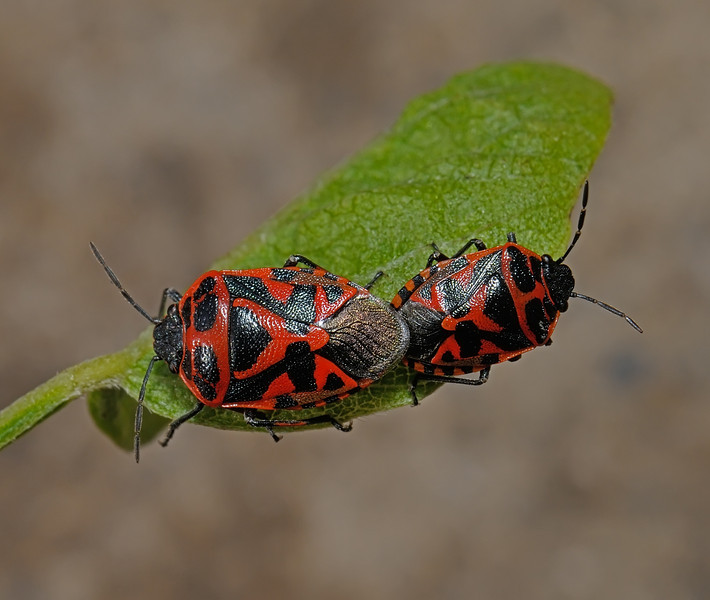 Ornate Shieldbug pair - Eurydema ornata, March