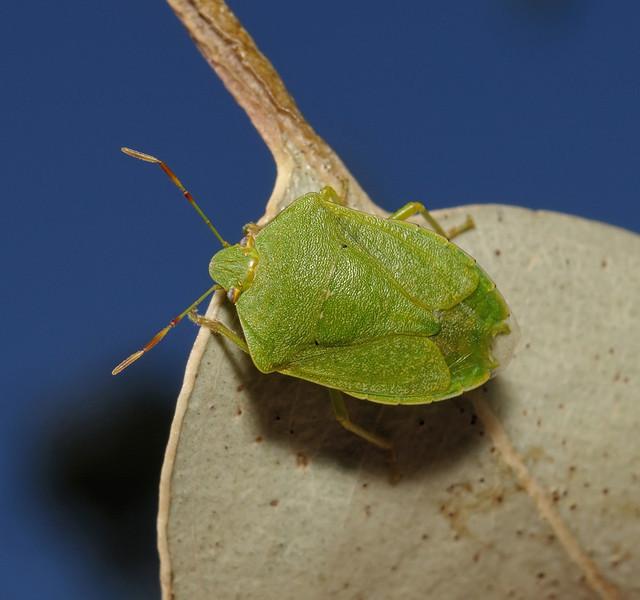 Southern Green Shieldbug - Nezara viridula, March