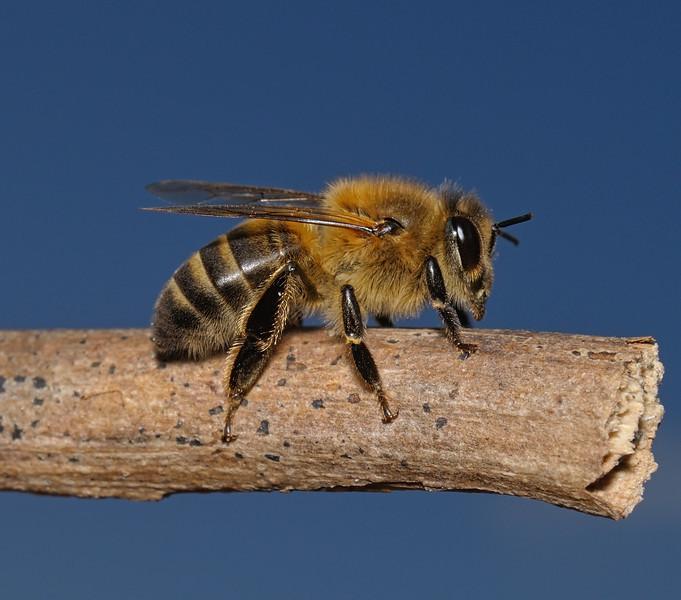 Honey Bee - Apis mellifera, March