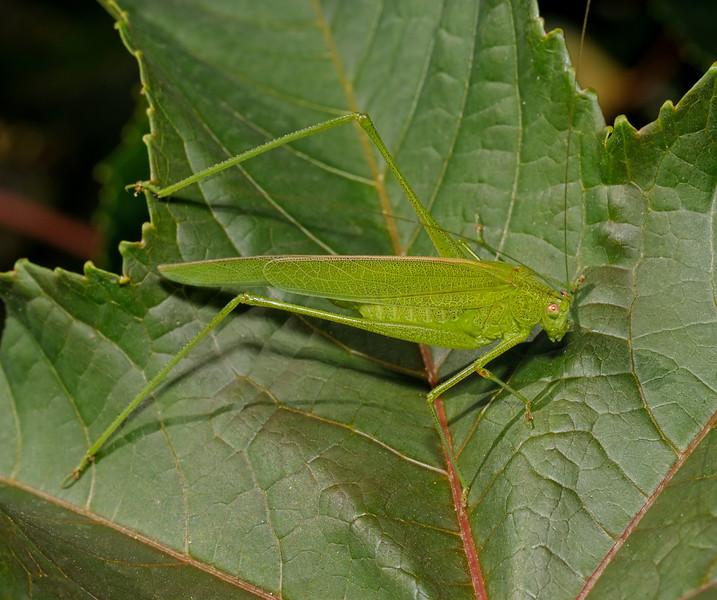 Phaneroptera sp, March