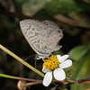 Lang's Short-tailed Blue - Leptotes pirithous, March