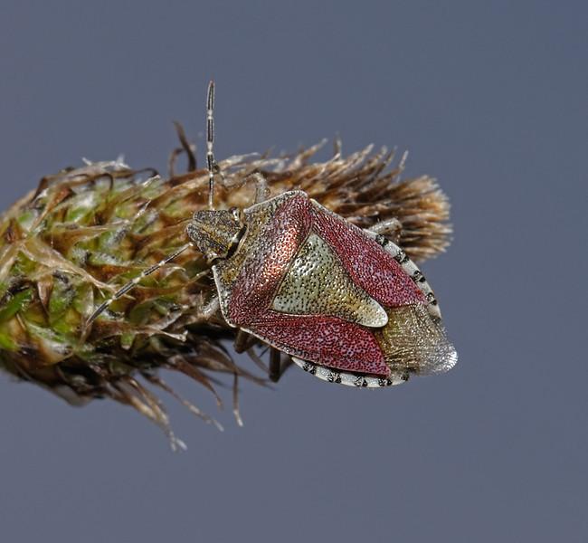 Sloe Shieldbug - Dolycoris baccarum, March