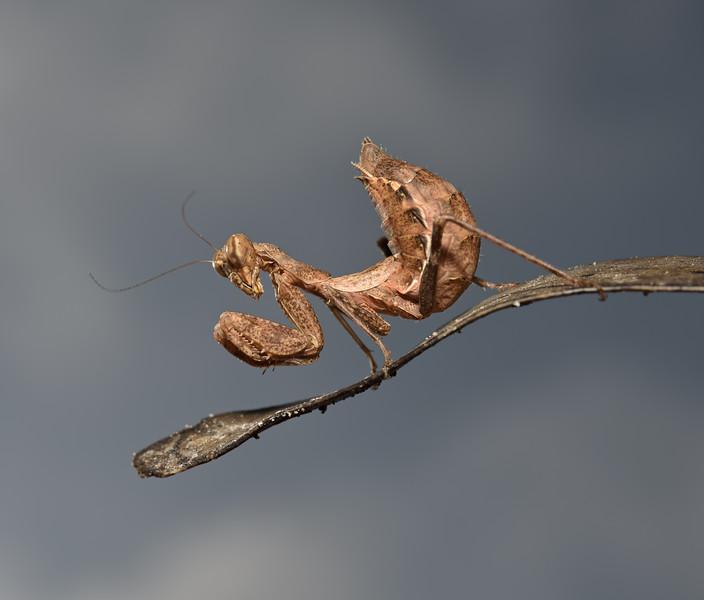 Ameles spallanzania, October