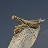 Mantis religiosa, October