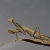 Mantis religiosa, October