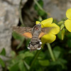 Macroglossum stellatarum, March